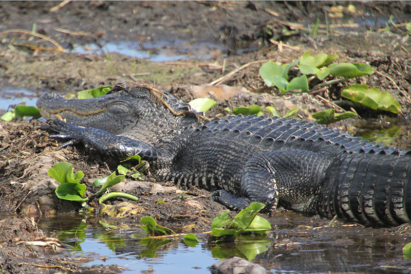 Boggy Creek Airboat Tours Orlando Florida Central Florida Kissimmee gallery images 12