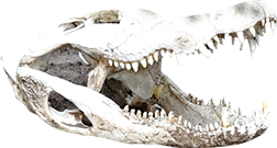 Gator Skull-Boggy-Creek-Airboat-Rides-Best-airboat-tours-in-Orlando-Indian-Village-4.jpg